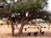 Nepochopitelné: kozy na stromě!